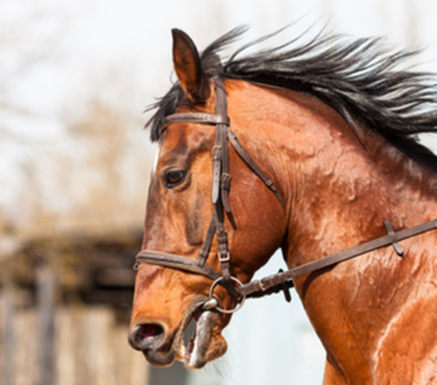 close up of horse in his bridle with the wind in his mane