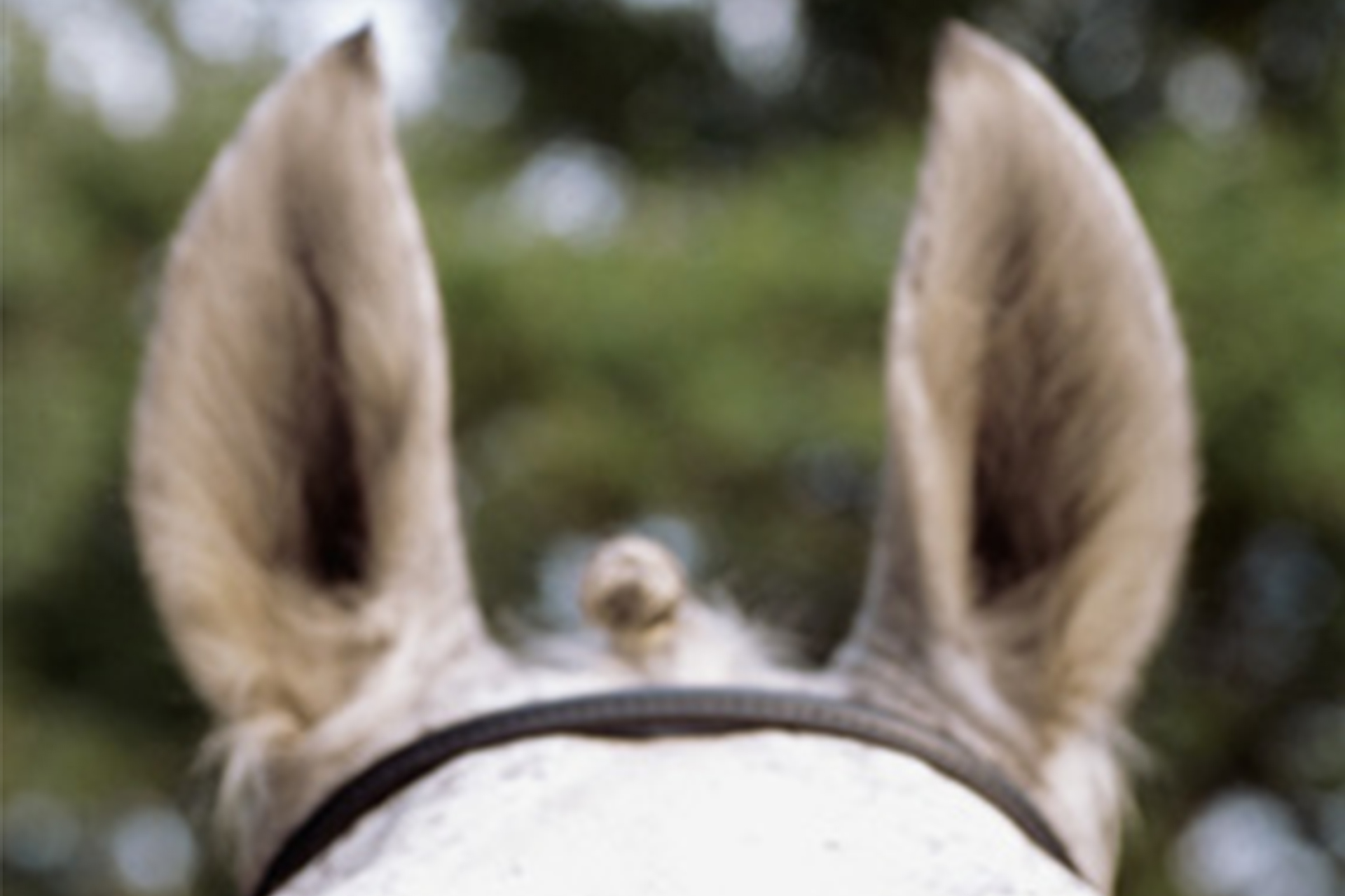 close up of horse's pricked ears